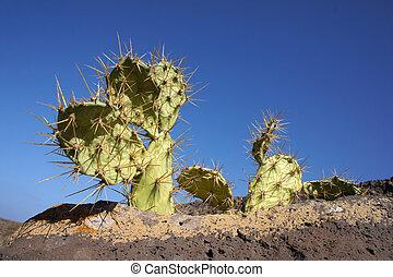 opuntia, crescendo, ligado, um, rocha, fuerteventura, ilhas canário