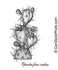 Opuntia ficus indica, botanical vintage engraving - Opuntia...