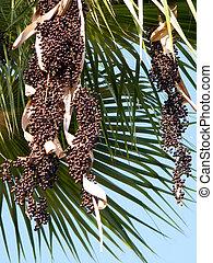 Fruits of Euterpe Oleracea palm tree in Or Yehuda, Israel