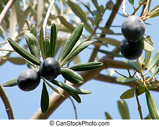 Mature Olives on branch in Or Yehuda, Israel