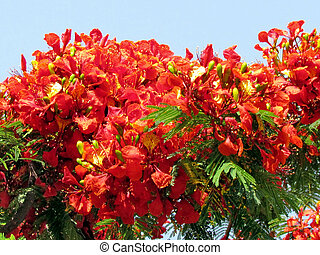 Red Acacia Leaves Leaves Are Red On A Tree On The Background Of A