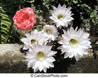 Or Yehuda Rose and Cactus Flowers 2007