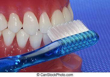 Oral Hygiene - Model of Teeth