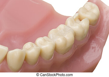 oral hygiene - isolated teeth model