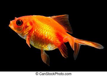 Oranda Goldfish Isolated On Black