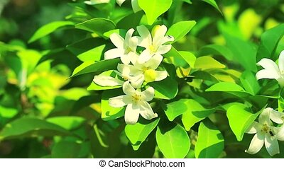 """""""Orang Jessamine, China Box Tree, Andaman Satinwood flowers are blooming and releasing fragrance to lure insects"""""""