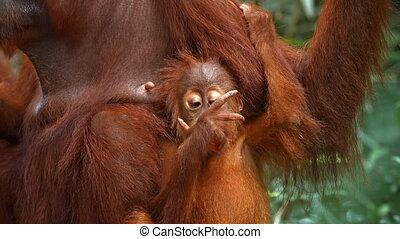 orang-outan, manger, fruit, zoo, quoique, bébé, clings, mère