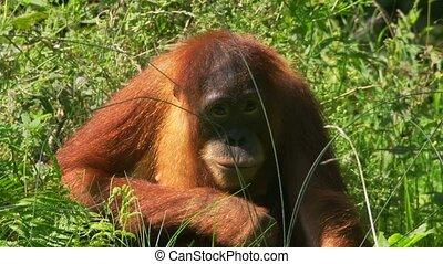 orang utan, -, pongo, -, alatt, egy, állatkert
