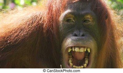 Orang Utan - Pongo - in a zoo