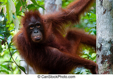 Orang Utan sitting on a tree