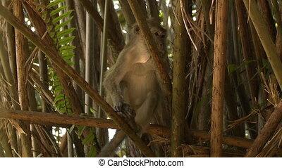 Orang-utans Feeding On Bananas, Orang Utun Island - Close-up...