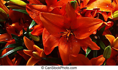orange 1, lilly, closeup