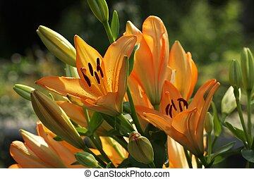 orange 1, lis, jour, jardin