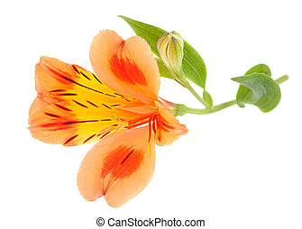 Orange Alstroemeria flower head