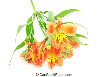 Orange Alstroemeria Lily Spray isolated on white
