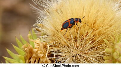 Orange and black bug - This is a macro video of an orange ...