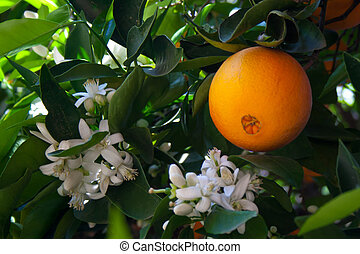A naval orange on a tree with blossoms