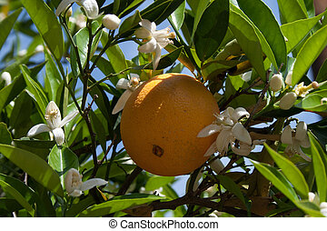 Orange and blossoms - A ripe naval orange on a tree with...