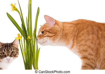 Orange and grey cats sniff daffodils, isolated on white
