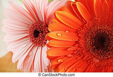 Orange and pink gerbera