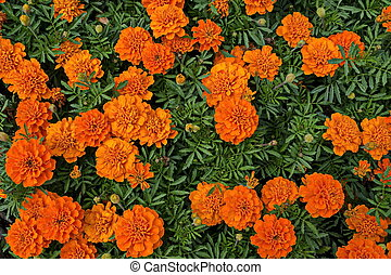 Orange and red flower heads of Tagetes Marigold with green background in the natural old West park
