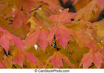 Orange and Red Leaves in Fall