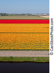 Orange and red tulip fields in the Netherlands