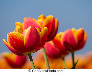 Orange and red tulips and blue sky