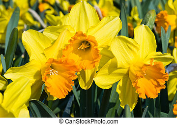 Orange and yellow daffodils in spring