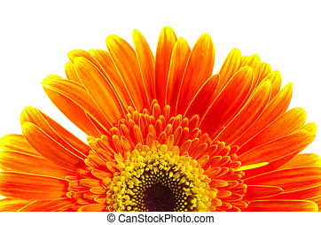 Gerber Daisy - Orange and Yellow Gerber Daisy