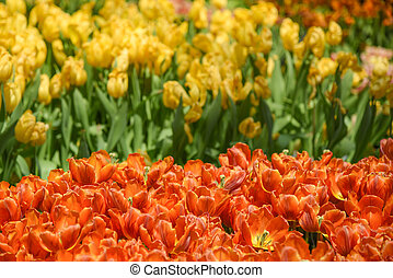 orange and yellow tulips in the garden