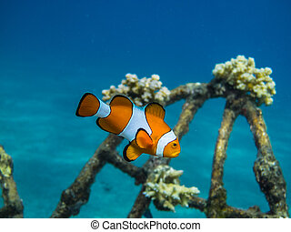 orange anemone fish in the sea