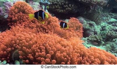Orange anemones and clown fish on the sea floor.