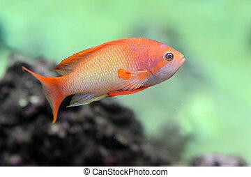 Anthias fish