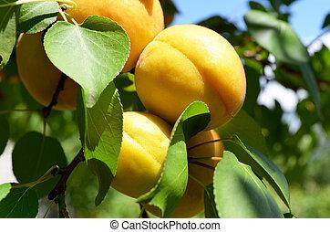 orange apricots on a tree branch