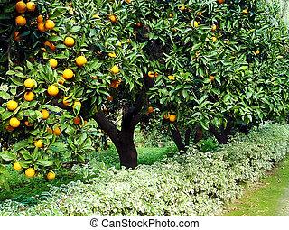 orange, arbre fruitier, verger