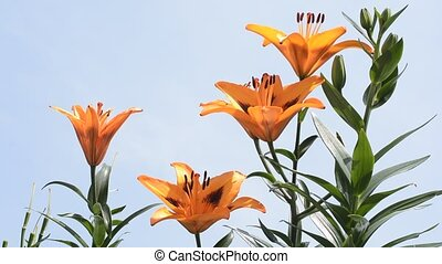 Orange asian lily - Bright orange asian lily flowers under...