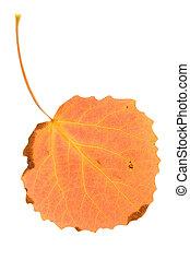 Orange aspen leaf
