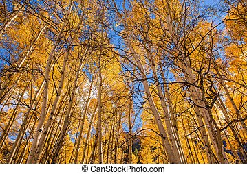 Orange Aspen Trees. Fall in Colorado, USA.