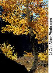 Orange Aspen Trees