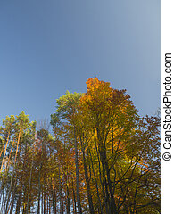 orange autumn beech trees and pine tree in golden light with blue sky background