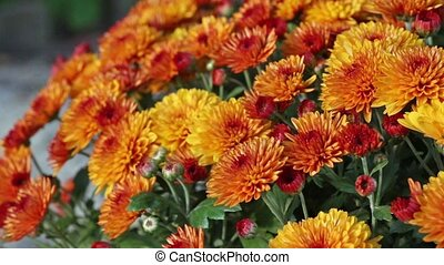 Orange Autumn Chrysanthemums Bush. - Bush of beautiful...