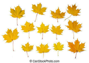 Orange autumn maple leaves
