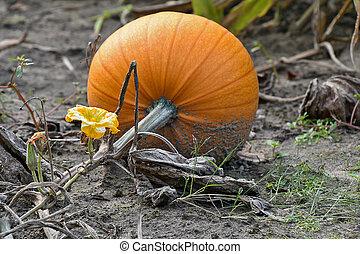 orange autumn pumpkin with blossom on vine