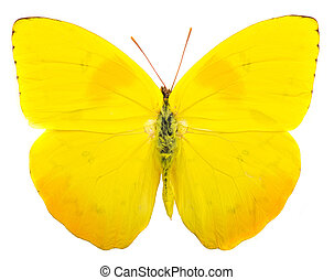 Orange-barred sulphur (Phoebis philea) butterfly isolated on white