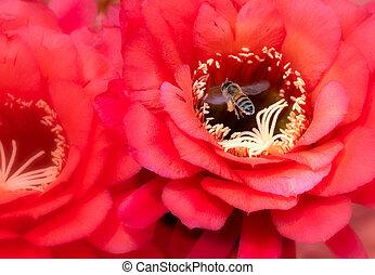 Orange Barrel Cactus Flower Close Up and Bee