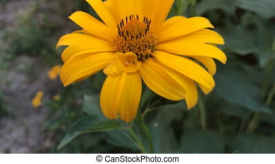 Orange beautiful flower grows in the courtyard of the...