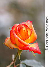 Orange beautiful rose growing in the garden