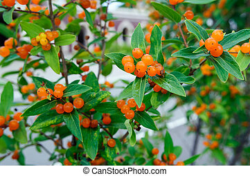 Orange berries on a honeysuckle Bush in the garden.