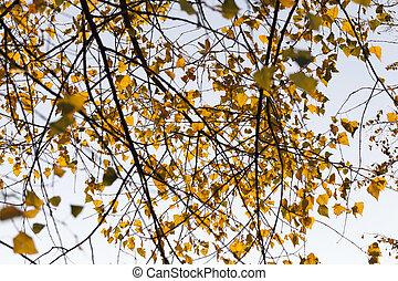 Orange birch